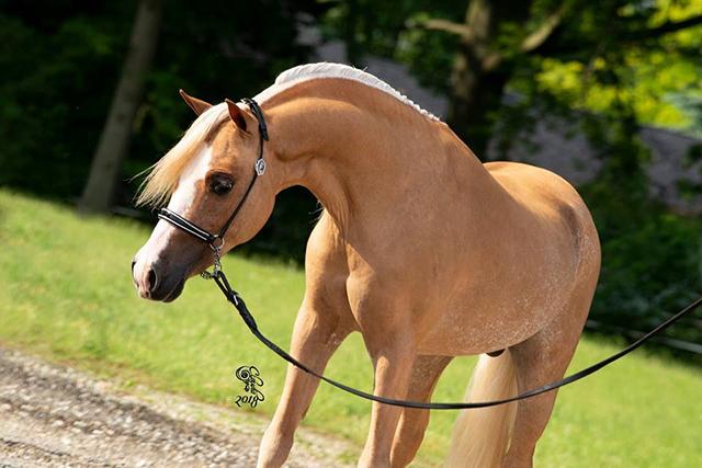 admiral mini horse stallion champion vahalla farm